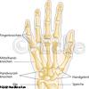Handknochen 2
