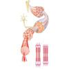 Muskelaufbau Myosin Aktin Filamente