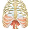 Zwerchfell medizinische Illustration