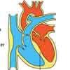 Herzphasen