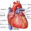 Herz Koronararterie Aorta Hohlvene