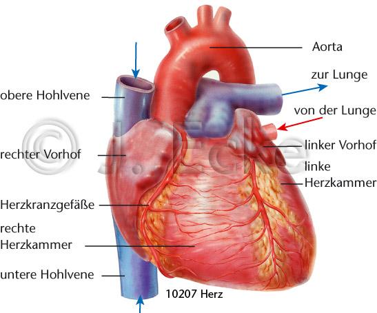 Herz Koronararterie Aorta Hohlvene - Medizinische ...