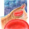 Erythrozyten Kapillare Gewebe