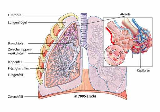 Lunge - Medizinische & Wissenschaftliche Illustration - Julius Ecke