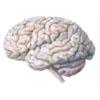 Gehirn 2