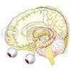 Gehirn Thalamus Hippocampus