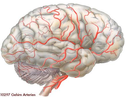 Gehirn Arterien... Nerve