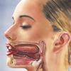 Mund Lippen Zunge Gaumen Kehlkopf
