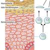 Hautzelle Keratinozyt Zellzyklus