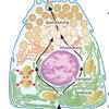 Pankreas Zelle Zellkern Mitochondrium Golgi Apparat