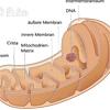 Mitochondrium