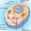 Tierzelle Zellkern Mitochondrium Golgiapparat Ribosomen