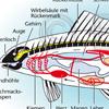 Fischorgane
