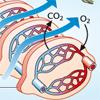 Atmung Kiemen