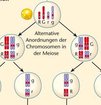 Mendel Chromosomentheorie