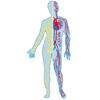 Lymph Blutkreislauf