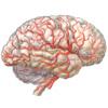 Gehirn Gefaesse Hypoxie