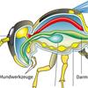 Insekt Organe