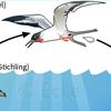 Bandwurm Entwicklungszyklus Schistocephalus solidus